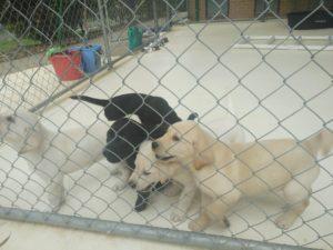 Guide Dog puppy raising